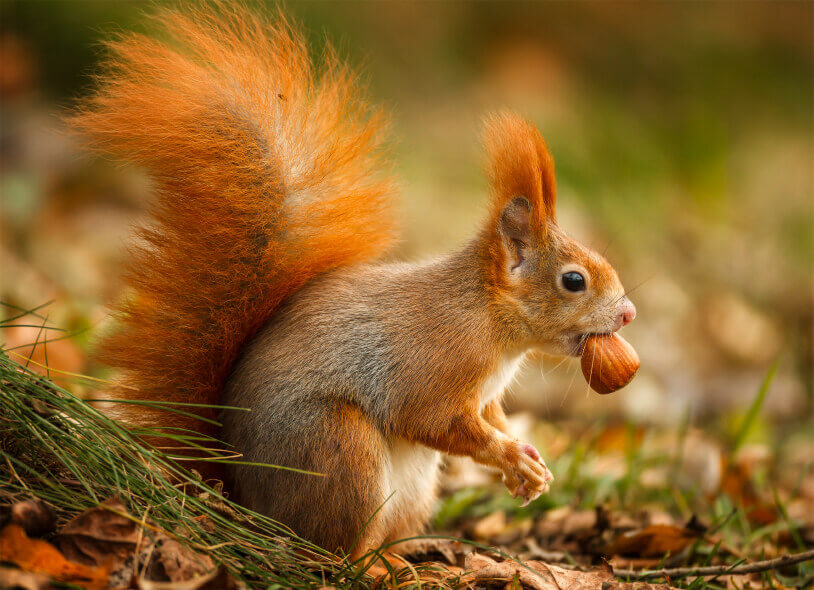 Red Squirrel with hazelnut in his mouth in the Lake District.