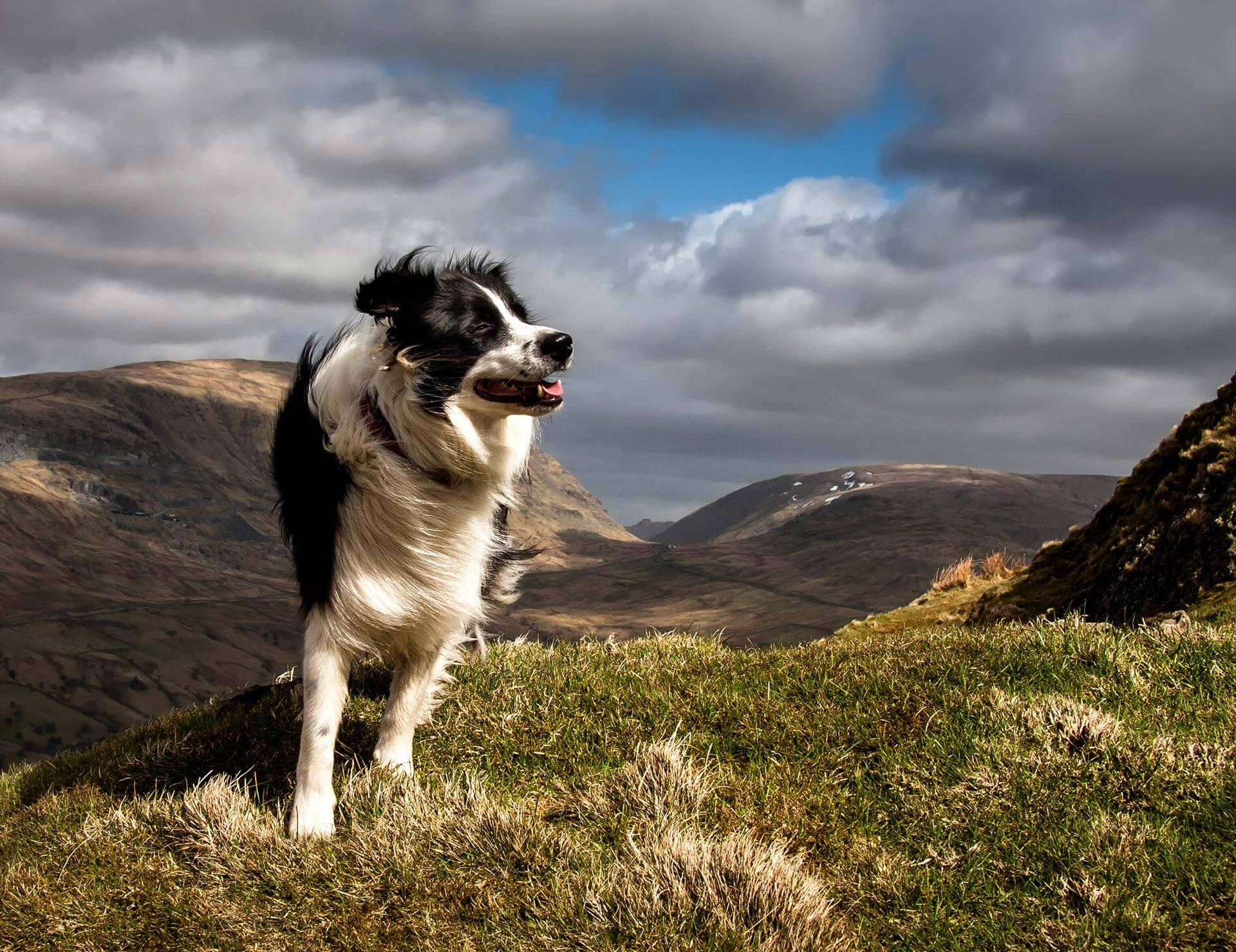 A Border Collie dog, enjoying the breeze on the top of Wansfell in the English Lake District, near Ambleside.