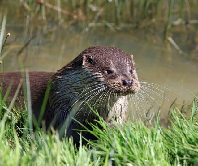 otter-animal-close-up-portrait-57466