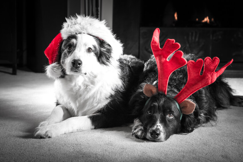 Two Christmas dogs, one wearing a santa hat, one with antlers on.