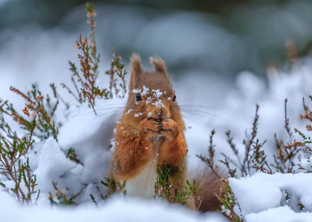 Red squirrel searches through snow covered forest in Northumberland, England